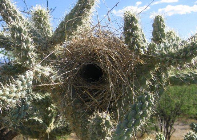 Cactus Wren Nest Campylorhynchus brunneicapillus